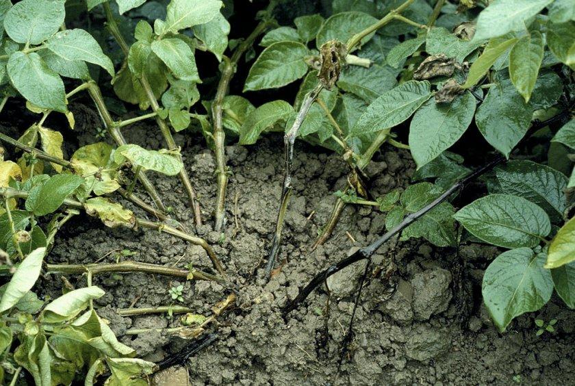 Чёрная ножка на стеблях картофеля возле грунта