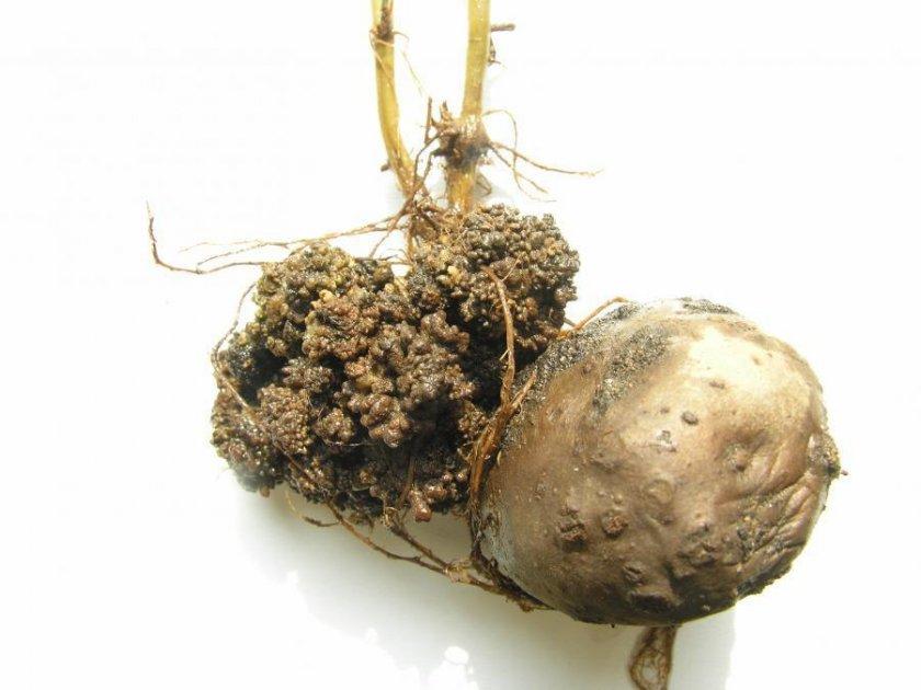 Рак на картошке