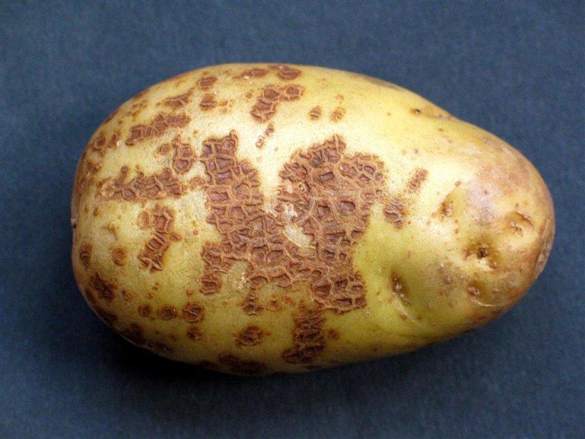 Парша на картошке