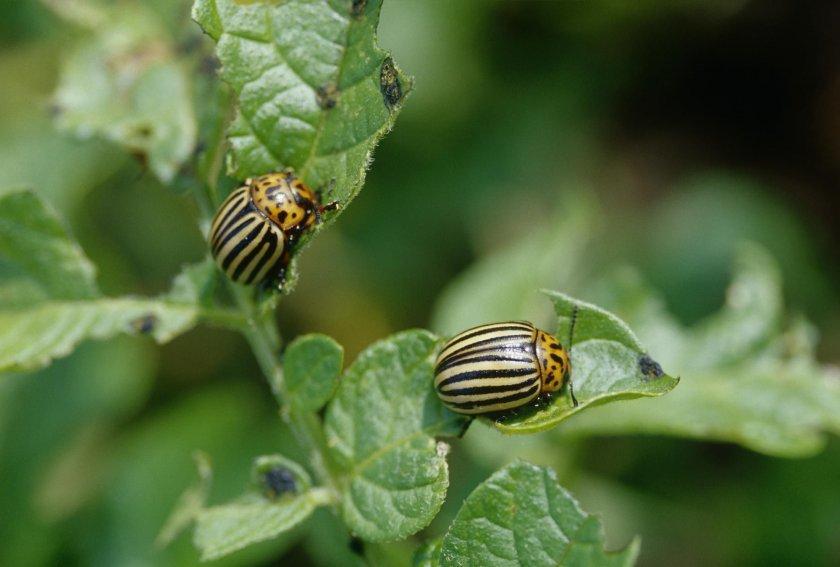 Колорадские жуки на ботве картофеля