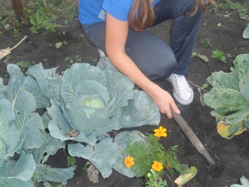 Рыхление почвы возле капусты