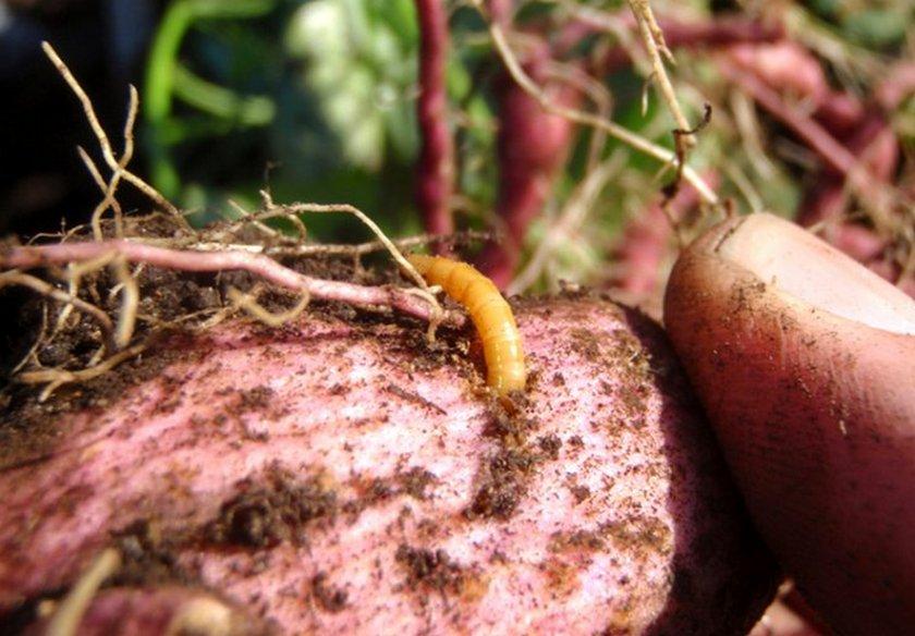 Проволочник на картофеле