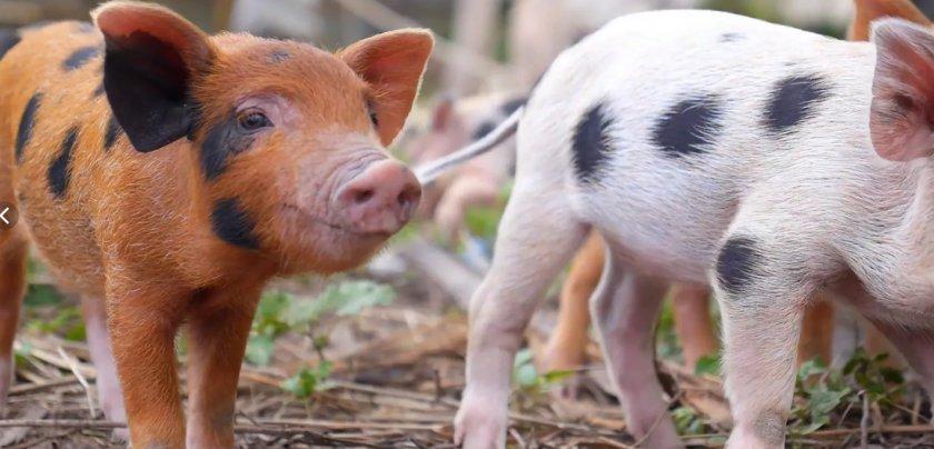 В Японии из-за вспышки чумы свиней началась вакцинация диких кабанов