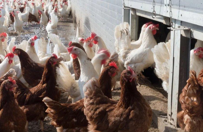 Опасный вирус оставил воронежских птицеводов у разбитого корыта
