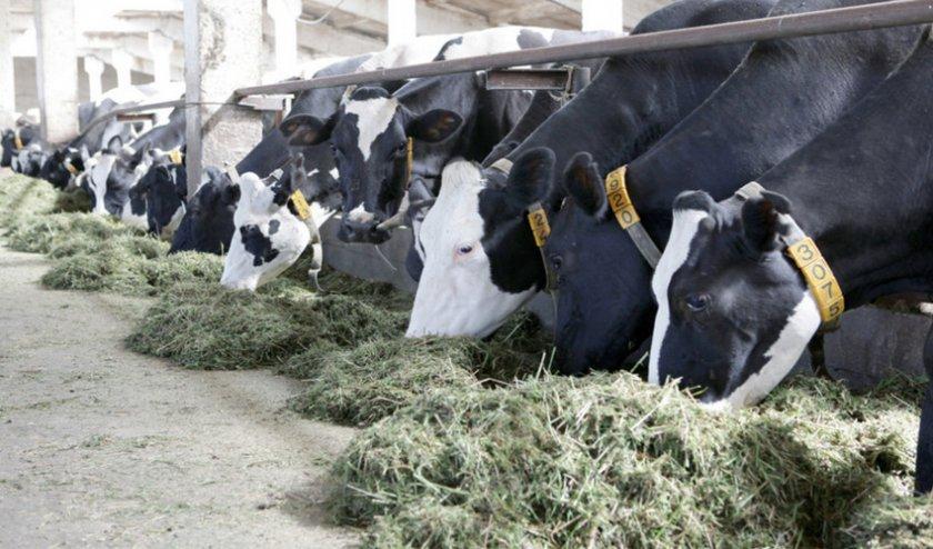 Беспривязное содержание коров