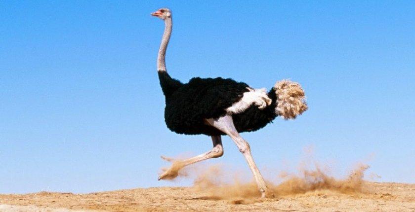 Бег страуса