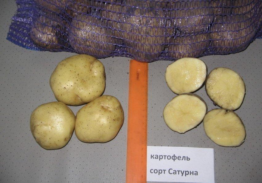 Картофель Сатурна