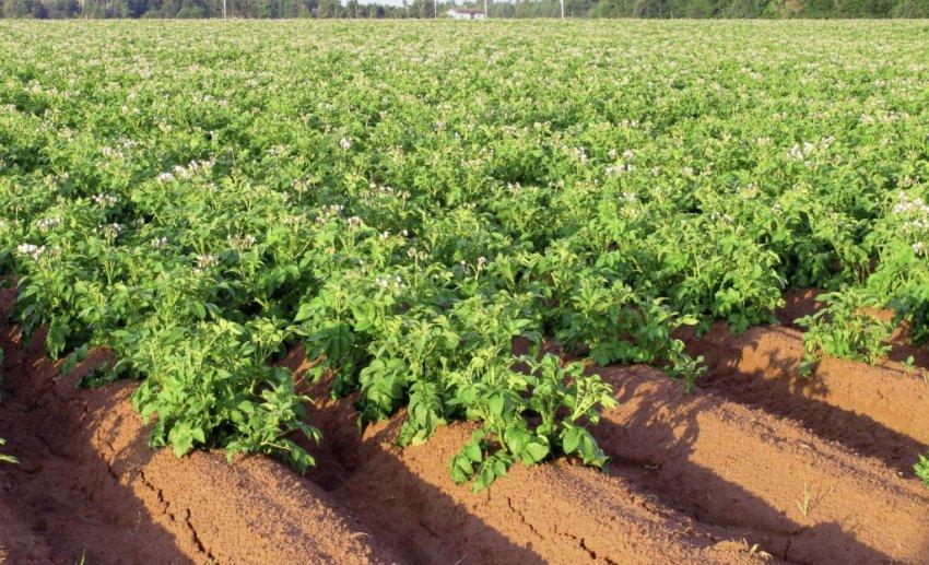 Выращивание поздних сортов картофеля