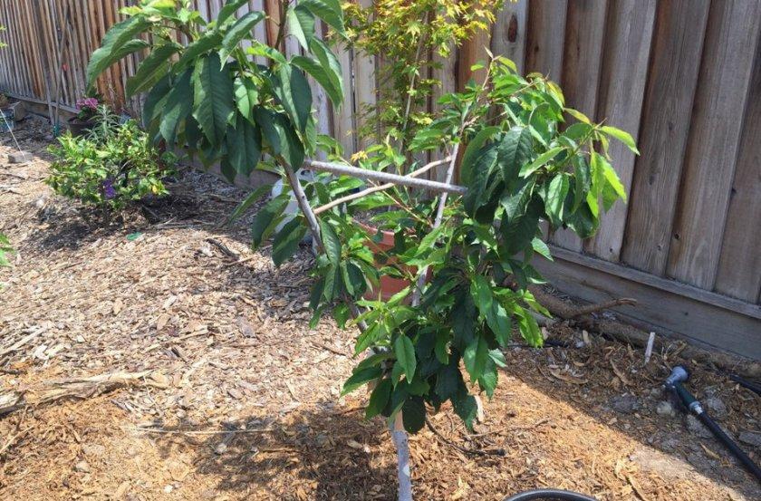 Молодое дерево черешни