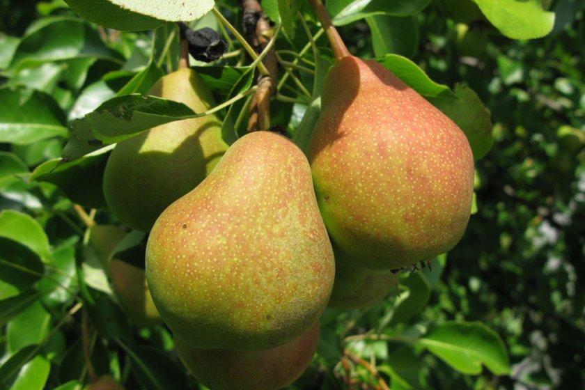 Плоды груши Сварог