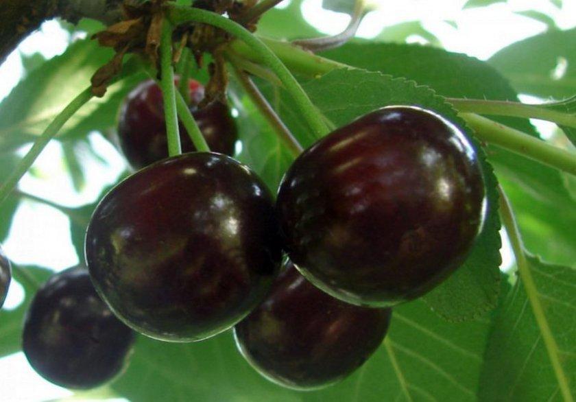 Плоды вишни Ксения