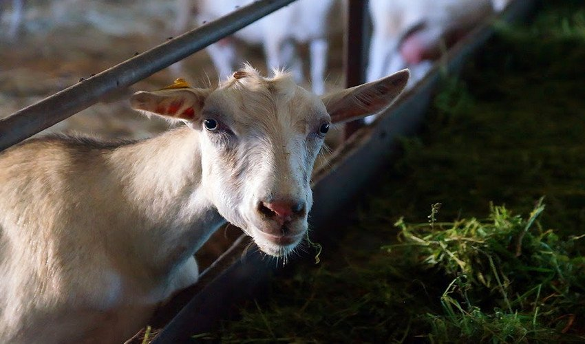 Кровь в молоке у козы
