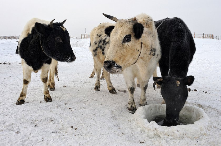 Якутская мини-корова