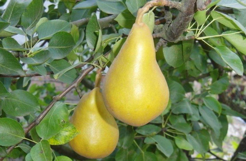 Груша полукарликовые сорта