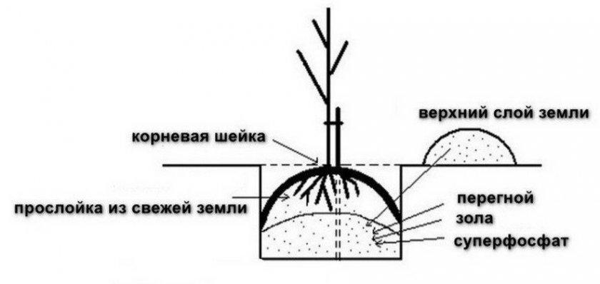 Схема посадочной ямы для саженца