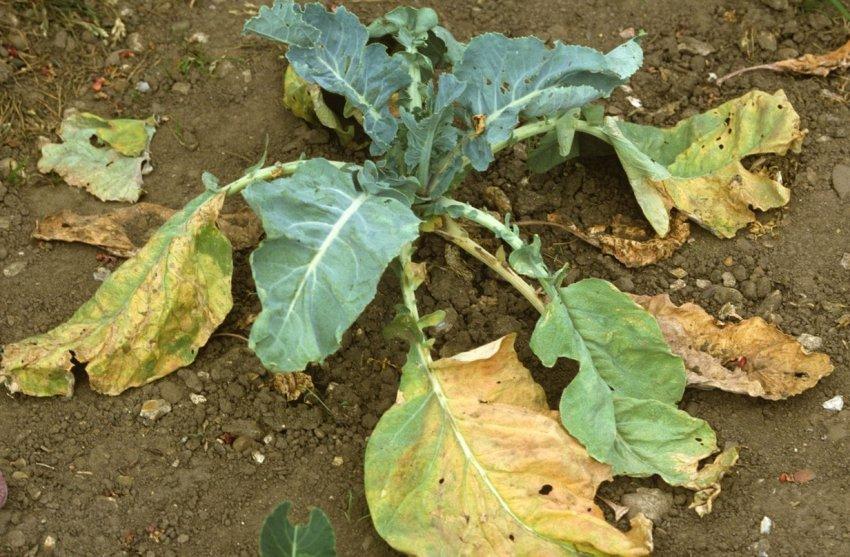 Фузариозное увядание капусты