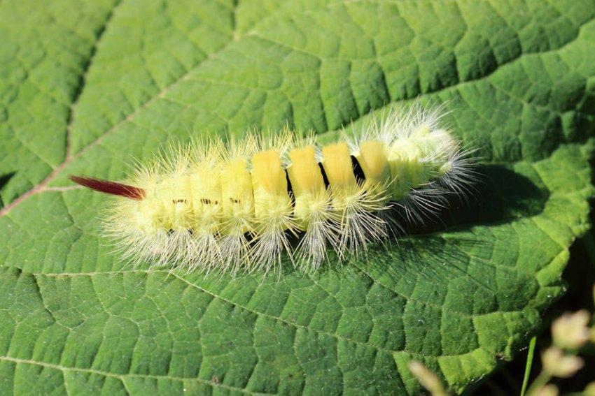 Ярко-жёлтая мохнатая гусеница