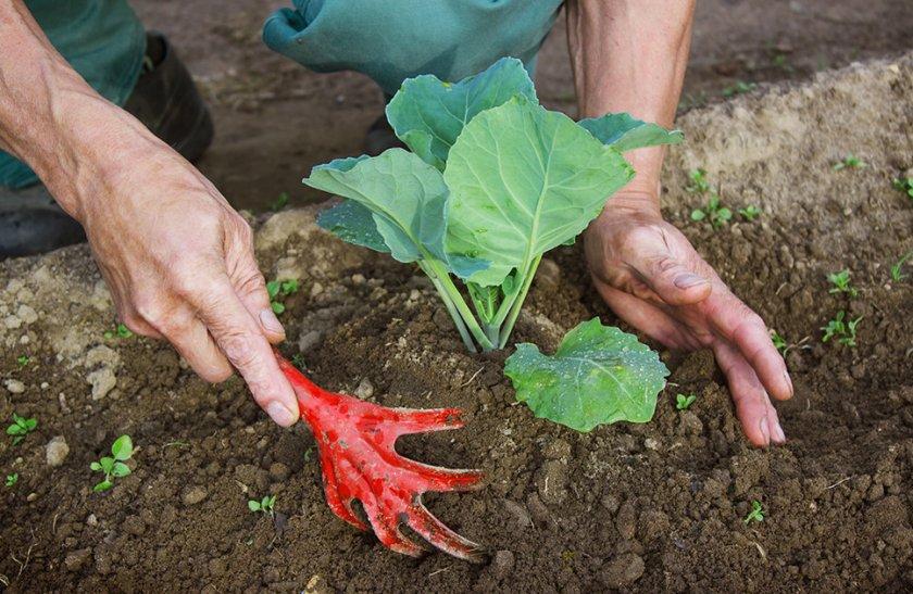 Рыхление почвы вокруг капусты