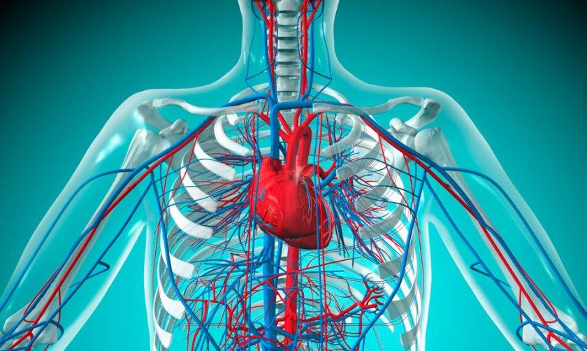 Сердечно-сосудистая система человека