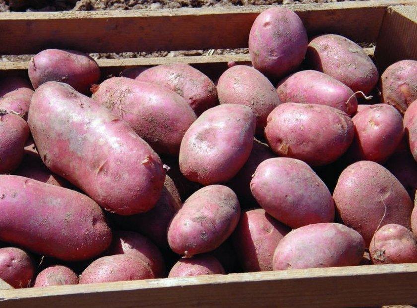 Картофель сорта Ред Фэнтези