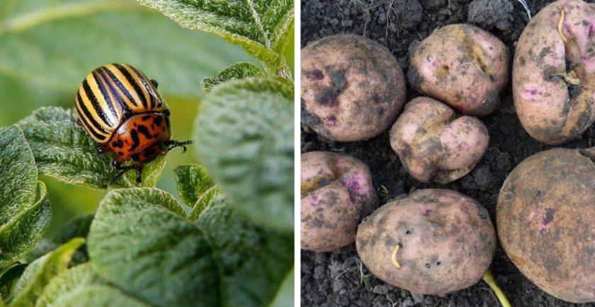 Вредители картофеля