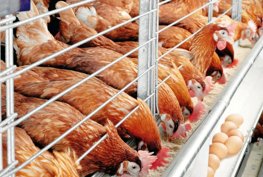 На птицефермах в Великобритании тоннами используются антибиотики
