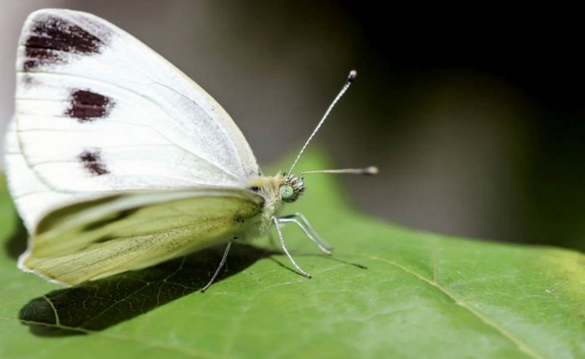 Бабочка на капусте
