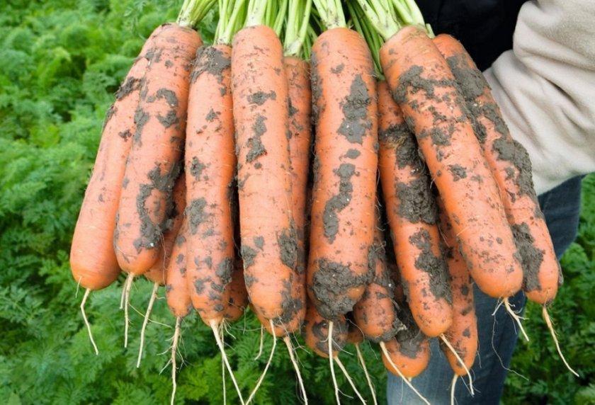 Морковь Кампо