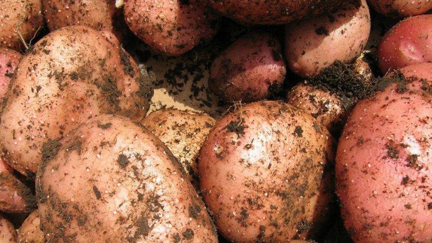 Картофель сорта Ильинский