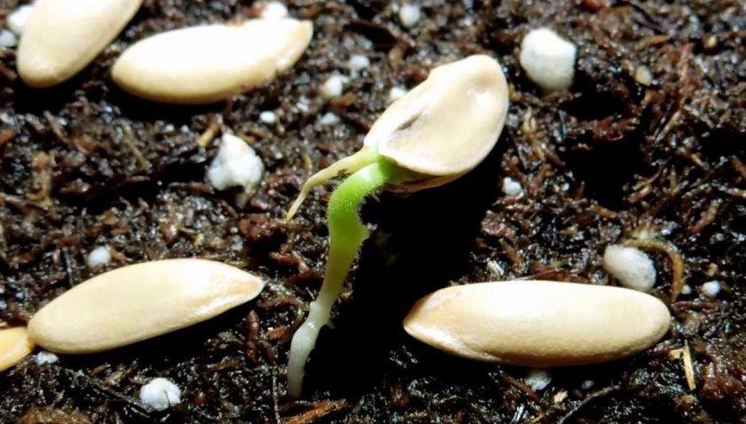 Проращивание семян дыни