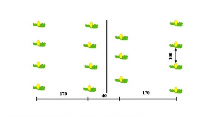 Схема посадки дынь