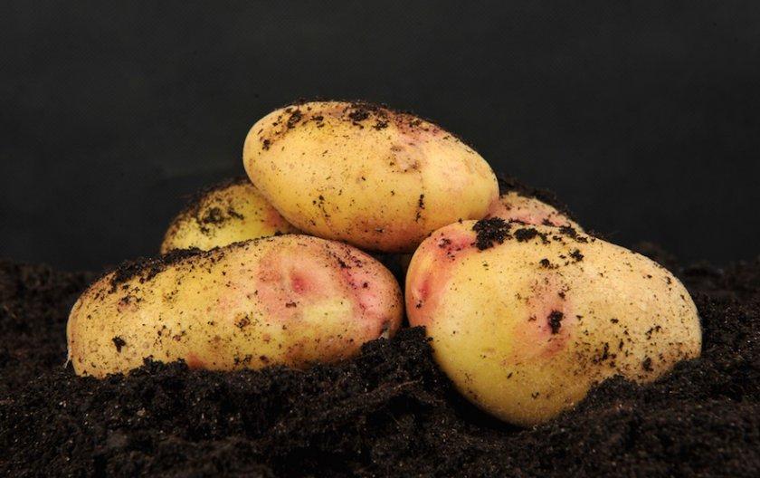 Картофель Бонни