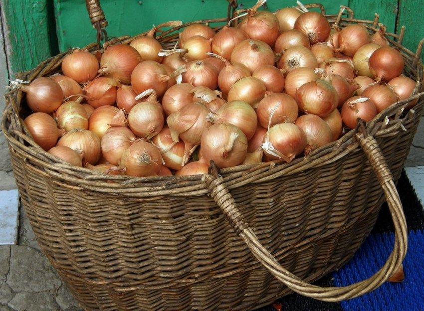 Хранение урожая лука сорта Альфа