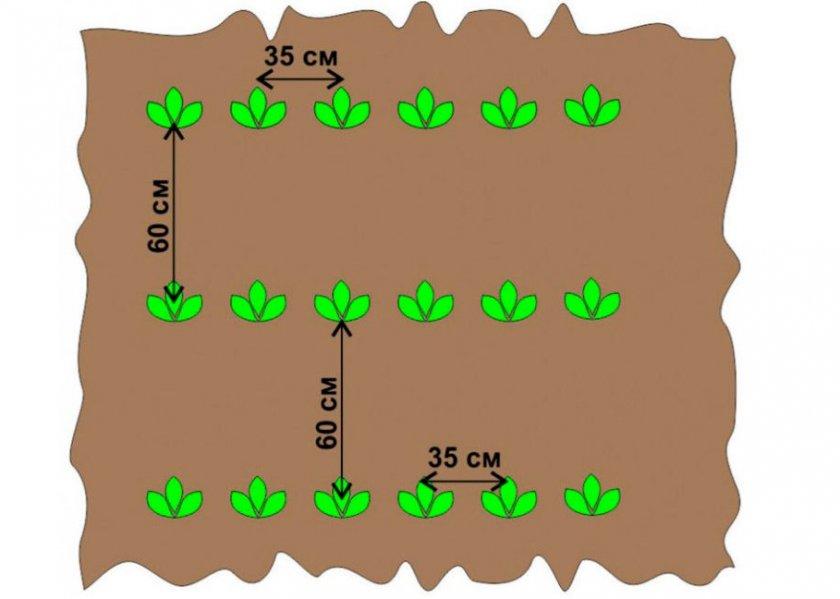 Схема выращивания картофеля