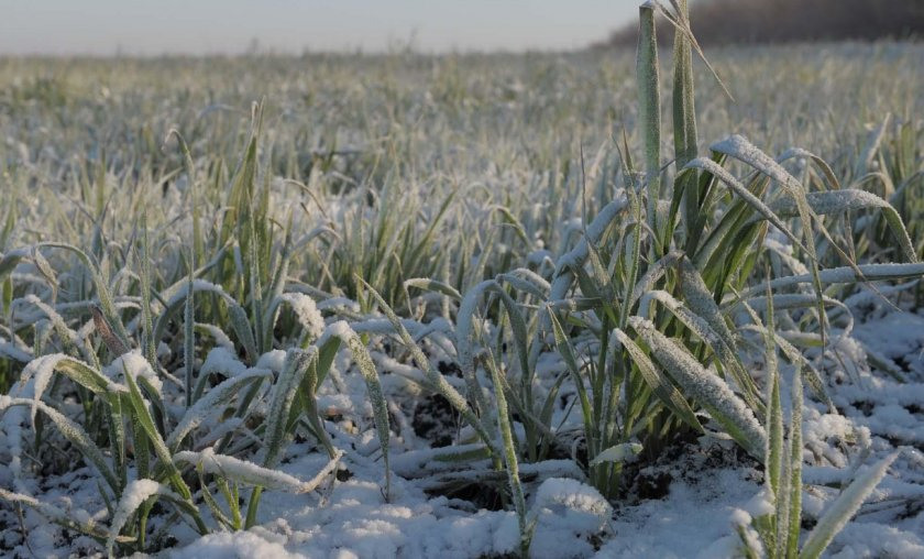 За зиму на башкирских полях погибло 7% озимых