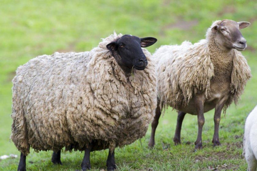Дагестанские овцеводы намерены «реанимировать» лезгинское поголовье