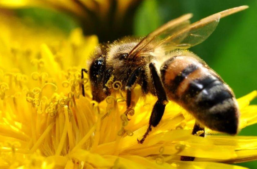 Голландец сдаёт в аренду пчёл для опыления тепличных фруктов