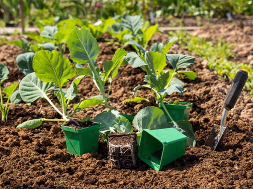 Выбор места для высадки рассады капусты