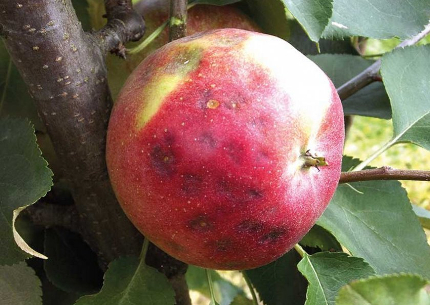 Горькая ямчатость яблок