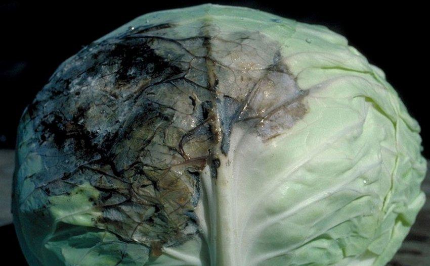 Почернение капусты при хранении