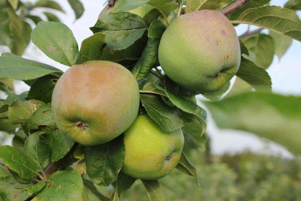 Описание и характеристики сорта яблок Каштеля сбор и хранение урожая разновидности