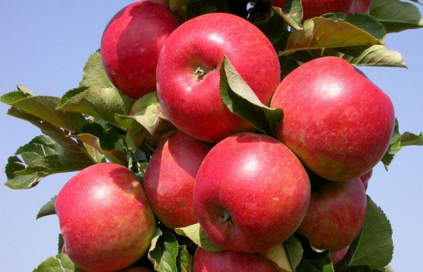 Сорт яблони Васюган