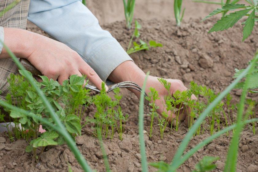 Рыхление почвы на морковной грядке