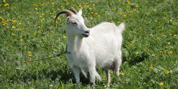 Мастит у козы признаки диагностика