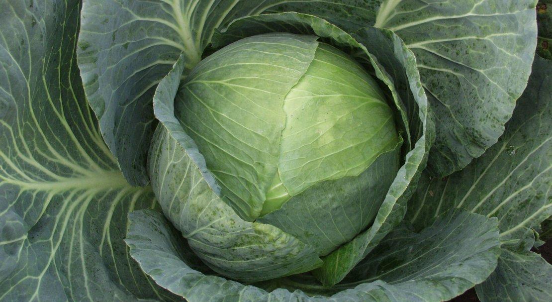 Капуста центурион f1 описание сорта выращивание и уход с фото