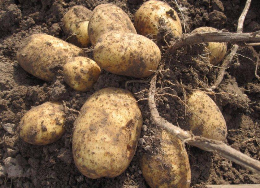 Сбор урожая картофеля Лидер