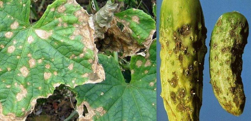 Кладоспориоз на листве и плодах огурцов