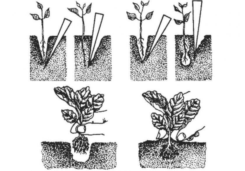 Схема пикировки белокочанной капусты