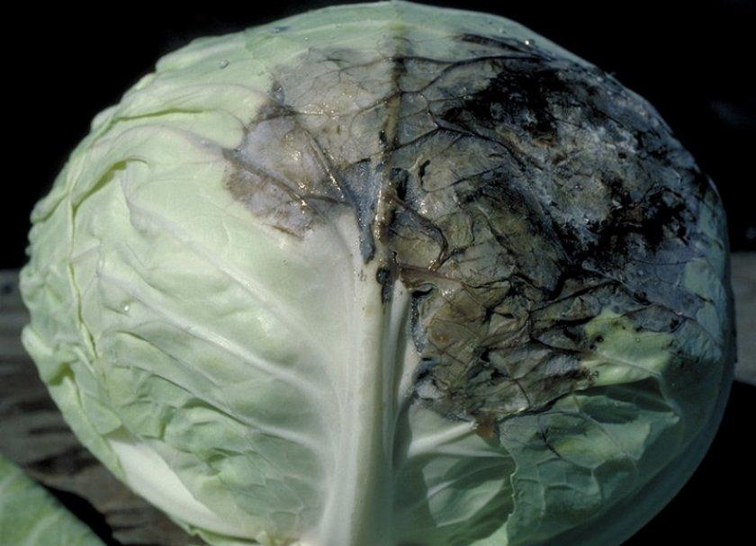 Слизистый бактериоз на капусте