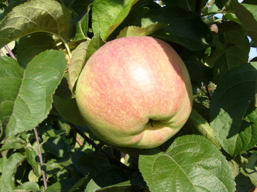 Преимущества яблони сорта Вербное